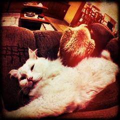 (rvcroffi) Tags: pet cats white cute branco cat gato gata felino branca iphone iphoneography olloclip