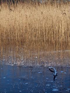 Reed on Ice