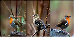 FEMALE CHAFFINCH BETWEEN TWO ROBINS (Shaun's Wildlife Images....) Tags: birds shaund