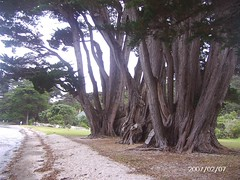 Scotts Landing, Mahurangi, North of Auckland, New Zealand, a really big tree (Gillian Everett) Tags: newzealand sailing prehistoric hugetree enormoustree scottslanding
