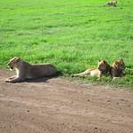 "Lions <a style=""margin-left:10px; font-size:0.8em;"" href=""http://www.flickr.com/photos/14315427@N00/6741654533/"" target=""_blank"">@flickr</a>"