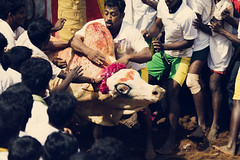 Man Versus Bull - The Jallikattu Sport Series | Explored (VinothChandar) Tags: old india game history animal animals sport danger canon photography photo fight ancient play risk control photos contest group bull historic photograph 5d win prizes madurai tamed tame tamilnadu markii contestant compete jallikattu alanganallur palamedu