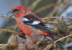 Two-barred Crossbill (Alan Dalton) Tags: two birds rare barred crossbill