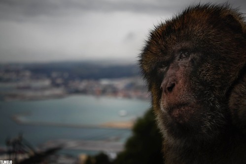 """Distrust"" - Gibraltar Monkey"