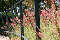 in the bend.... (Baja Juan) Tags: grass fence botanical texas decorative center grasses baja friday blooming hff