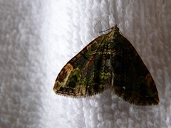 Night flier at dawn (tomato umlaut) Tags: india moth indiamoths neoravalley darjeelingdistrict mothsofindia blinkagain