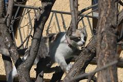 desembre 2011 025 Xina (visol) Tags: kitten gatita chatte xina gateta