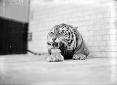 Celtic Tiger? (National Library of Ireland on The Commons) Tags: ireland dublin cats animals 1936 zoo march thirties 1930s stripes teeth tiger cage tiles bigcat paws enclosure growling leinster dublinzoo incisors zoologicalgardens robertshouse nationallibraryofireland independentnewspaperscollection