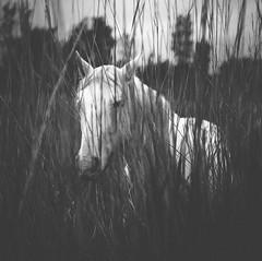 Potro blanco en negro (Ibai Acevedo) Tags: santiago bw horse white blanco animal caballo coma trote pereza galope maleza