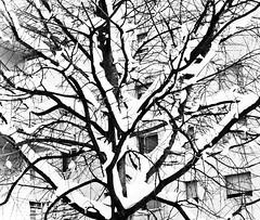 Is something broken? (gre.ceres) Tags: trees white snow black ice neve bianco nero rami ghiaccio