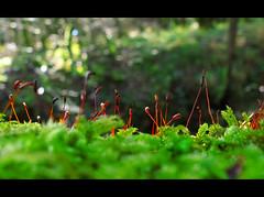 Moss (flosspot) Tags: winter macro green moss bokeh lowangle fruiting canong10 lynettecoates
