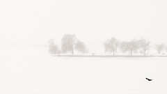 Fog (with bird) (Brînzei) Tags: trees winter sky white snow water birds animals fog frozen flying m42 manualfocus ★ bucurești laculmorii canoneos400d komz jupiter37a135mmf35 crângași