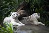 IMG_2617 (Marc Aurel) Tags: zoo singapore tiger tigre singapur whitetiger zoologischergarten singaporezoo weddingtrip hochzeitsreise bengaltiger pantheratigris zoologicalgarden königstiger pantheratigristigris royalbengaltiger pantheratigrisbengalensis weisertiger 5dmarkii eos5dmarkii indischertiger tigrebiancha