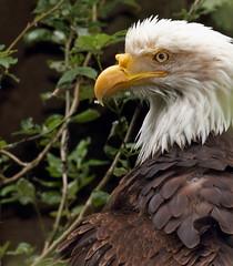 Bald Eagle (sandy richard) Tags: usa oregon portland zoo unitedstates portlandoregon oregonzoo sandyrichard sandrarichard