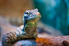 Komodo Dragon [Explored 02/09/12] (Eddie 11uisma) Tags: california travel vacation canon zoo san dragon bokeh diego 5d komodo