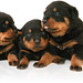 three_rottweiler_puppies