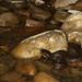 Agkistrodon piscivorus leucostoma (Western Cottonmouth)