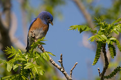 Song of The Bluebird (MelRoseJ) Tags: california nature birds northerncalifornia unitedstates sony antioch a57 contraloma eastbayregionalparks sonyalpha sal70400g mygearandme