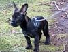 Loke 4 (Flemming-Denmark) Tags: puppy french denmark bulldog danmark plantage loke daschound gravhund bøgsted