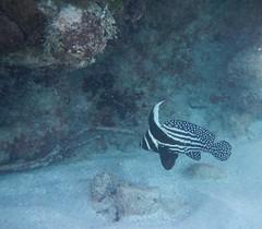 Culebra, Puerto Rico (tquist24) Tags: beach water coral puerto sand nikon puertorico carlos rico snorkeling culebra rosario tropical coolpix reef aw100 carlosrosariobeach nikoncoolpixaw100