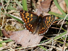 Duke of Burgundy - Denge Wood (mikehook51) Tags: uk flowers england male nature sunshine fauna butterfly spring woods wildlife may lepidoptera winged grassland avian rarity dukeofburgundy forestrycommission bbcspringwatch dengewood eos7d canoneos7d