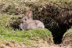 Sunbathing Bunny (Ed Swift) Tags: rabbit bunny canon scotland wildlife sigma lagomorph glenesk 7d2 sigma150600mmf563 sigma150600mmf563sport