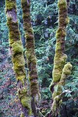 Moss Enshrouded (Don Thoreby) Tags: forest moss cedar cascades greenway cascademountains cascaderange ironhorsetrail alders cedartrees mountaintosound aldertrees mountaintosoundgreenway