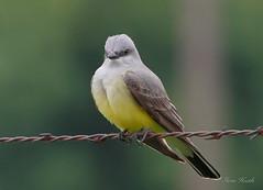 Western Kingbird (rsheath76) Tags: bird wire texas birding barbed westernkingbird