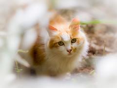 Cat (patty2407) Tags: pet cats animals bokeh gatto vignette animali