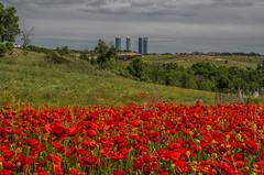 AMP_6417_1 (Amparo Hervella) Tags: madrid espaa flower landscape spain nikon amapola d7000 comunidadespaola nikond7000