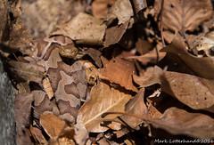 Juvenile Northern Copperhead (Lotterhand) Tags: massachusetts copperhead
