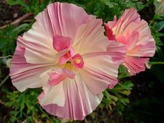 California poppy 'rose chiffon' (yewchan) Tags: flowers flower nature colors beautiful beauty closeup garden flora colours gardening vibrant blossoms poppy po blooms lovely californiapoppy rosechiffon