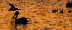 A Golden Silhouette (sylviamay1963) Tags: sunset seagulls water birds silhouettes pelican