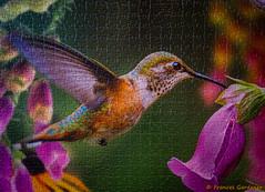 Rufous Hummingbird Puzzle (Roy Cohutta) Tags: bird hummingbird puzzle rufous