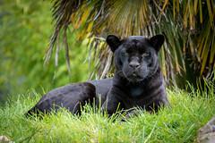 chester zoo (james keats) Tags: nikon sigma sigma500mm nikonphotography nikond7200