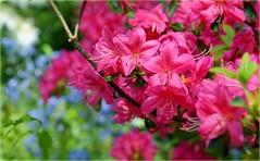 May! (farmspeedracer) Tags: park pink nature garden spring blossom may bloom azalea