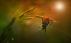 Junikfer (Delbrcker) Tags: macro insect makro insekt farben kfer junikfer nikkor105mm nikond610