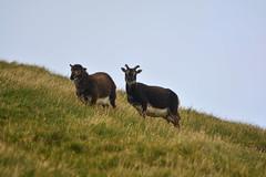 Wild Soay sheep (supersky77) Tags: soaysheep soay sheep pecora wild stkilda hirta scotland hebrides