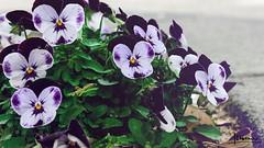 Violets (domjuniorlemma) Tags: wood morning flowers autumn trees winter red summer sun flower tree green fall nature colors grass leaves animals yellow forest photoshop canon garden insect photography photo leaf reflex spring branch violet insects photograph rays mothernature chlorophyll clorophilla