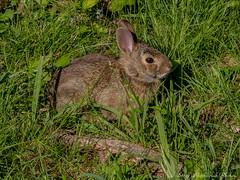 Hidden Bunny_14646 (smack53) Tags: rabbit bunny grass animal canon rodent newjersey spring hare critter lawn ears powershot tallgrass springtime g12 westmilford canonpowershotg12 smack53