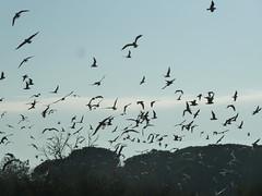 P1000174 (gzammarchi) Tags: italia natura volo animale paesaggio gabbiano monocrome scuro stormo bellocchio parcodeltadelpo lidodispinafe