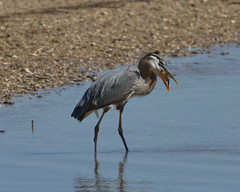 Great Blue Heron eating a Blue Crab (3 of 5)