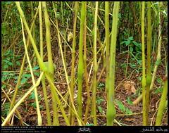 Wild Balsam, Impatiens balsamina, Stems at Ain Athoom, Nashib, Salalah, Dhofar (Shanfari.net) Tags: wild green nature season lumix raw natural panasonic vegetation greenery lush oman fz impatiens balsam zufar rw2 salalah sultanate sarb dhofar  balsaminaceae balsamina impatiensbalsamina khareef    dufar      dhufar governorate dofar fz38 fz35 dmcfz35