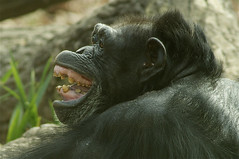 Expressions (ucumari) Tags: november chimp north carolina chimpanzee primate nczoo greatape 2011 specanimal ucumariphotography dsc2279