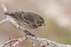 Pinzón pequeño de tierra (hembra) (ik_kil) Tags: birds ecuador galapagos galápagos islasantacruz galápagosislands smallgroundfinch islasgalápagos geospizafuliginosa darwin´sfinch galapago´sendemic garrapaterobeach endémicodelasgalápagos pinzónpequeñodetierra darwin´sfinchs