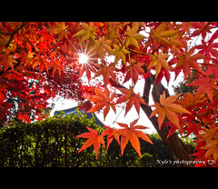 ( ()) Tags: japan maple olympus  zuiko e30  1454