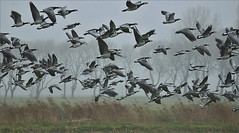 Swarm of Barnacle Geese (Brandganzen) (Foto Martien) Tags: autumn mist holland bird fall netherlands dutch fog nationalpark nevel herfst nederland goose gans groningen oiseau friesland barnaclegoose brantaleucopsis vogel niederlande lauwersmeer frysln najaar nationaalpark brandgans bernachenonnette nonnengans hvitkinngs berniklabiaolica vitkindadgs a550 bramgs barnaclacariblanca gansodefacesbrancas weiswangengans lauwersmar martienuiterweerd martienarnhem  sony70300gssmlens sonyalpha550 mygearandme mygearandmepremium mygearandmebronze mygearandmesilver mygearandmegold mygearandmeplatinum mygearandmediamond fotomartien grinsln rememberthatmomentlevel4 rememberthatmomentlevel1 rememberthatmomentlevel2 rememberthatmomentlevel3 rememberthatmomentlevel5