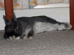 Silver (Bessierocks' Photography) Tags: boy white man cute rabbit bunny eye silver nose relaxing adorable handsome ears down tummy precious rabbits lying bunnys bunnyrabbits laying