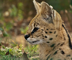 Watching the Prey (PredatorsPrey) Tags: up closeup cat nose close small watching ears ground whiskers ear prey lying serval observing