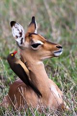 Red-billed oxpecker on Impala lamb (Willievs) Tags: bird wildlife aves antelope lamb impala oxpecker redbilledoxpecker buphaguserythrorhynchus specanimalphotooftheday rooibekrenostervoël